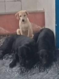 Labradora original 300 reais promoção