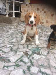 Vende-se filhote de beagle com foz americano
