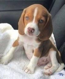 Exelente Linhagem! Beagle 13 Polegadas com Pedigree ++ Garantia de Saúde