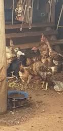 Vendo galinhas caipiras Botadeiras