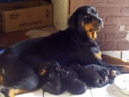 Filhotes de rottweiler - machos