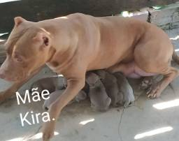 Pitbull ....800 reais filhote cachorra ...
