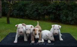 Bull Terrier a pronta entrega, parcele em até 12x no cartão
