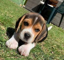 Beagle com pedigree