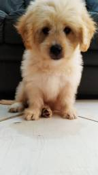 Poodle Toy Macho 3 Meses