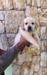 Promoção de dia das mães filhotes de Labrador