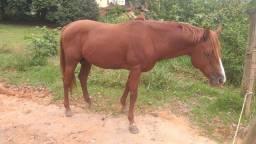 Vende-se cavalo quarto de milha