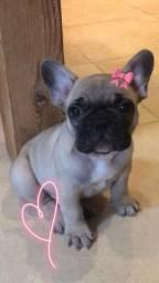 Lindos bulldog francês com preço promocional! Parcelamos em até 12x
