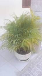 Plantas com caqueiras (completas)