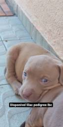 Filhote lilac pit monster