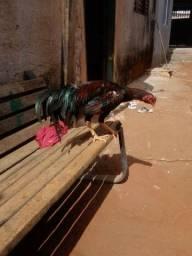 Vendo galo, galinha e pintinhos índios puro