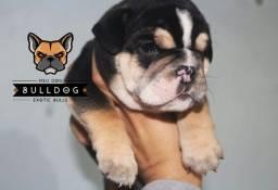 Bulldog Ingles Triblack Macho