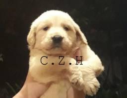 Golden Retriever Padrão, com pedigree e garantia de saúde
