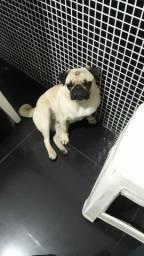 Pug Fêmea