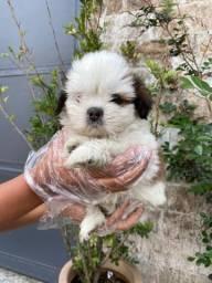 Shih tzu com pedigree e assistência veterinária para maiores informações via whata!