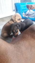 Filhotes de pit bull 44 dias