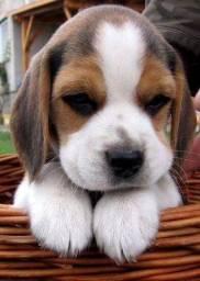 Filhotes de Beagle. Macho ou fêmea, com pedigree