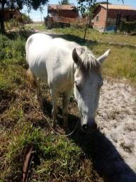 Vende-se cavalo mangolino. Mangalarga com campolino