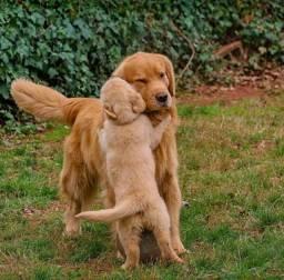 Golden Retriever machinhos e fêmeas, adquira seu bebê sem sair de casa!