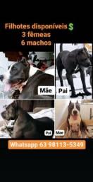 Filhotes - American Staffordshire Terrier (Amstaff)