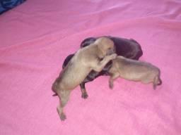 Filhotes de Pincher número 2