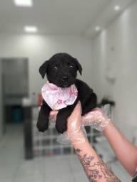 Labrador, filhotes a pronta entrega! whatsApp 113565-1269