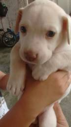 Vendo uma cachorrinha mistisa com labrador e Pitbull