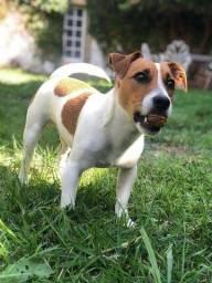Macho de Jack Russell terrier