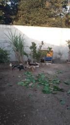 Vendo frangos e frangas indios jenetica boa