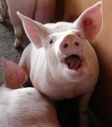 Alimentador automático wi-fi para porcos