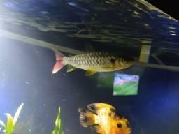Chalceus - aquário