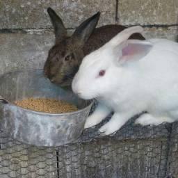 Casal de coelhos