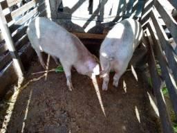 Venda de porcos.