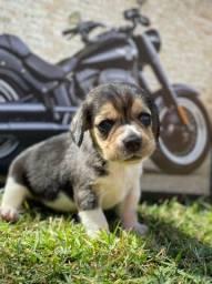 Título do anúncio: Beagle topp Mine// @canilcanaa