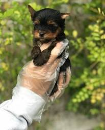 Filhotes de YorkShire Terrier!! (Pedigree)