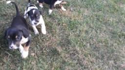 Cães filhotes para doação