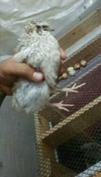 Ovos Galados Codorna Gigante