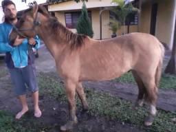 Vendo cavalo crioulo gatiado