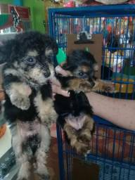 Filhotes de yorkshire com poodle toy com 40 dias de nascimento