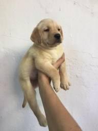 Labrador lindos amarelos
