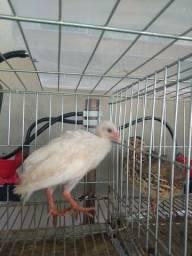 Angolinha branca com 60 dias de vida