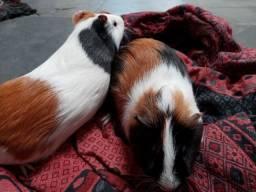 Doa-se 2 porquinhos da índia