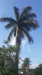 Palmeira imperial 10 a 15 metros.