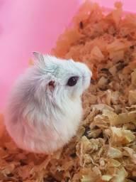 Vendo hamster anão russo fêmea
