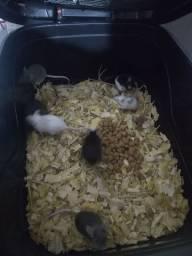 12 Colônias de camundongos
