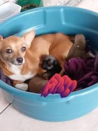 Filhotes de pinther com chihuahua