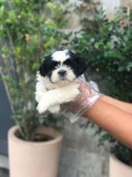 Shih tzu com suporte veterinário, adquira o seu filhote conosco!