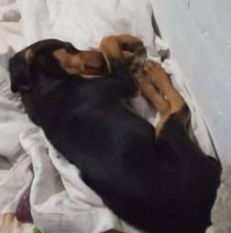 Cachorro fêmea