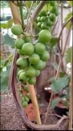 Mudas de uva Itália produzindo *