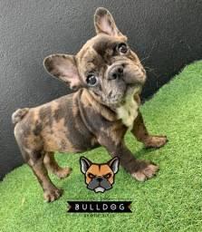 Bulldog frances BlackMerle